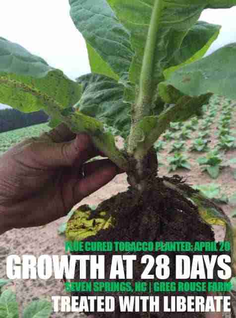 Tobacco Fertilizer - Increase Your Tobacco Yields