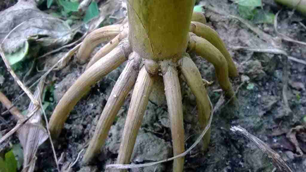 prop or brace roots of corn maize